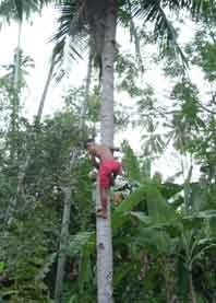 Harvesting Coconut